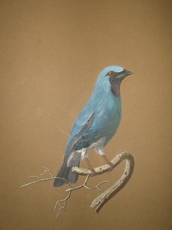 Неизвестный художник первой трети ХІХ в. Синяя котинга. Бумага, гуашь